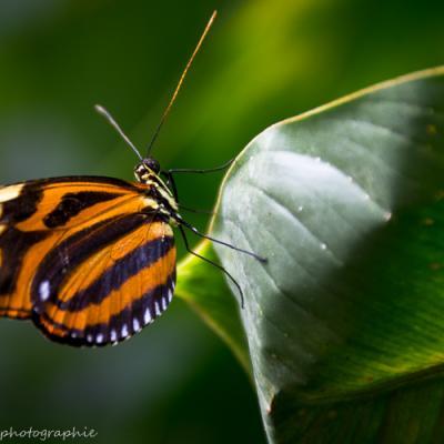 Œil du tigre