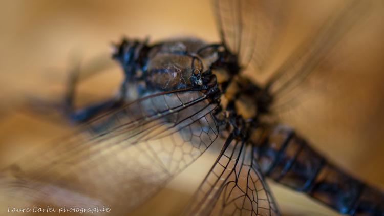 Plan rapproché d'une mue de libellule